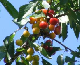Cseresznyebefőtt - Alig érett cseresznyéket szedj!