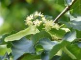 Hársfatea - A kislevelű hárs virágja közelebbről.