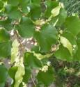 Hársfatea - A kislevelű hárs virágja, a virághoz tartozó levéllel.