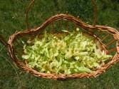 Hársfatea - Egy kosárnyi hársfavirág