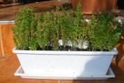 Paradicsomos-bazsalikomos bruschetta - A kis levelű bazsalikom, balkonládában.