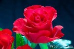 Névnapi rózsa