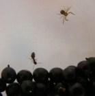 Bodzabogyószörp és bodzalekvár - Rondaságok 1: pók és hangya.