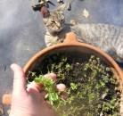 Cukkinis aprópecsenye - Friss majoranna, meg macska.